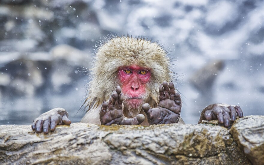 This Japanese macaque is one of 40 images still in the running for the Comedy Wildlife Photography Awards. The winner will be announced in mid-November.