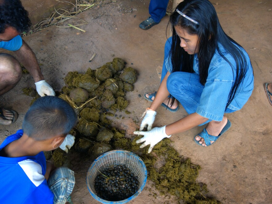 Black Ivory Coffee workers sort coffee beans out of elephant dung.
