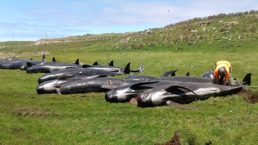 The beached pilot whales lie in clusters, dead on the shore of Hanson Bay in the Chatham Islands. Workers with New Zealand's Department of Conservation sought to prepare the 51 bodies for burial Friday.