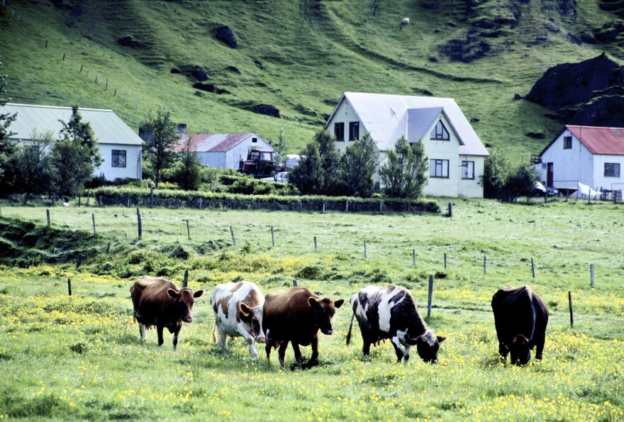Every drop of milk in the skyr made in Iceland comes from Icelandic cattle, the country's only breed.