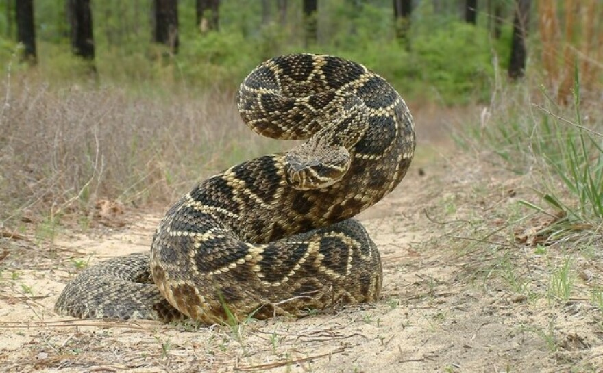 A coiled rattlesnake