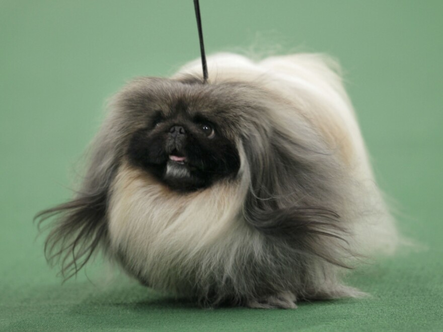 Malachy the Pekingese was named Best in Show at the 136th annual Westminster Kennel Club dog show in New York on Tuesday.