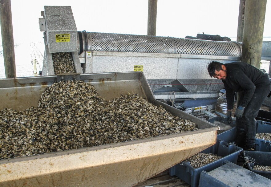 An oyster grading machine sorts young oysters on the pier at Murder Point.