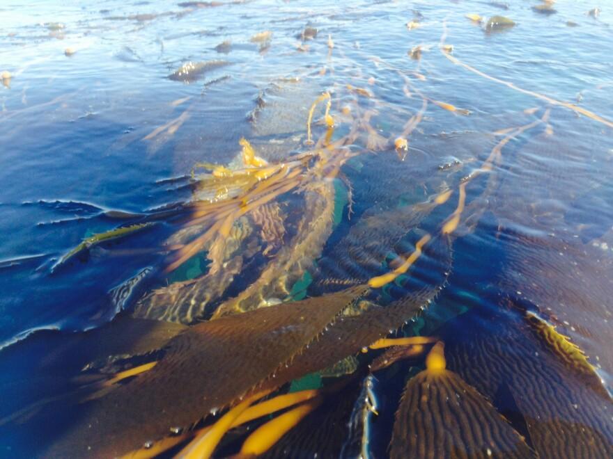seaweed__santa_cruz_harbor.jpg
