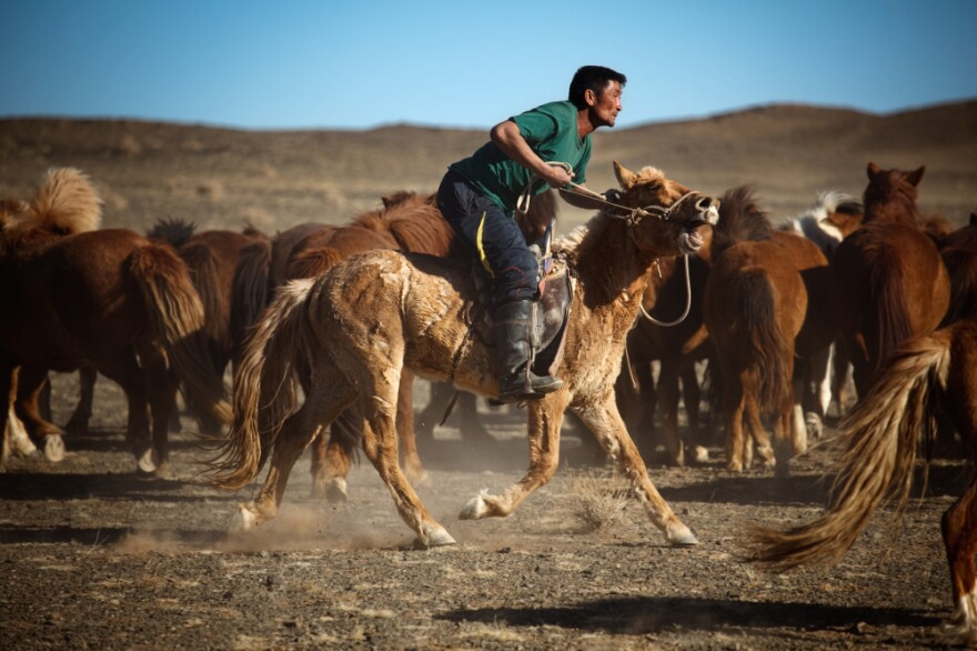 Horses were first domesticated in the area that is Mongolia today. The original cowboys, Mongolians ride on wooden saddles and are some of the best horsemen in the world. They're a part of Mongolia's traditional culture, which is under pressure from the mining boom.