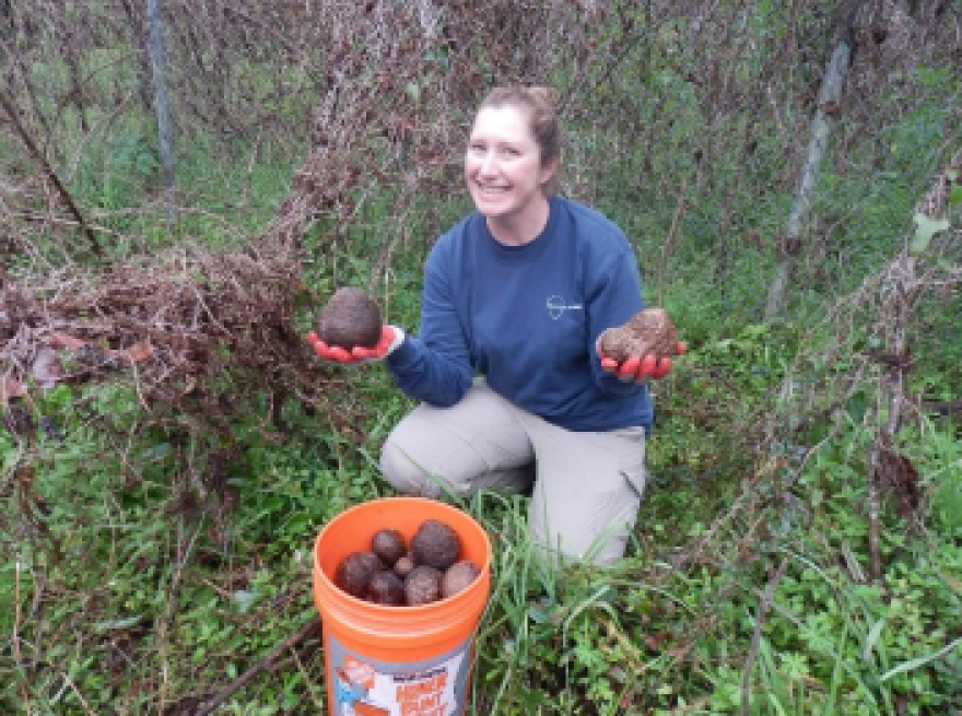 Jessica Spencer, U.S. Army Corps of Engineers biologist, shows off air potato bulbils (tubers) collected as part of the annual Air Potato Roundup. In 2016, volunteers collected 685 pounds of air potatoes.