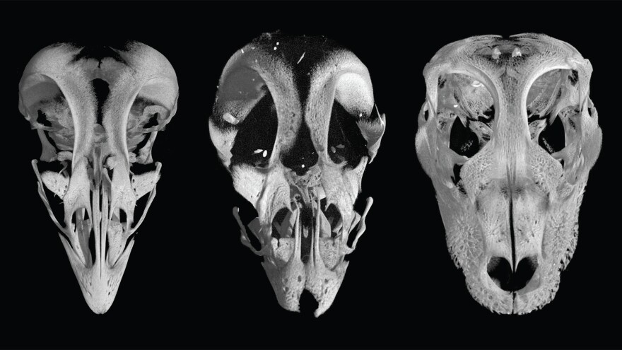"""The skull of a chicken embryo (left) has a recognizable beak. But when scientists block the expression of two particular genes, the embryo develops a rounded """"snout"""" (center) that looks something like an alligator's skull (right)."""
