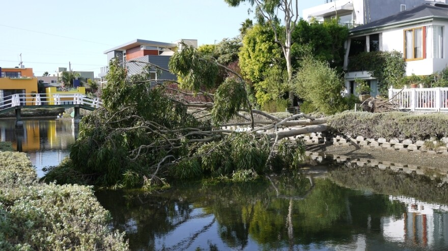 A fallen tree over one of the famous canals of Venice Beach.