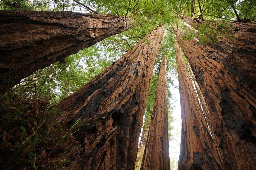 redwoods_looking_up.jpg