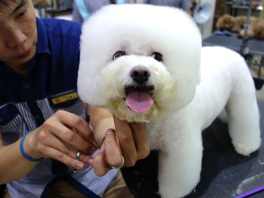 "Tang Xiong Xiong, a Bichon Frise, came into the salon as a ball of fluff and emerged with her head shaped like a square. ""She's getting used to it,"" says her owner."