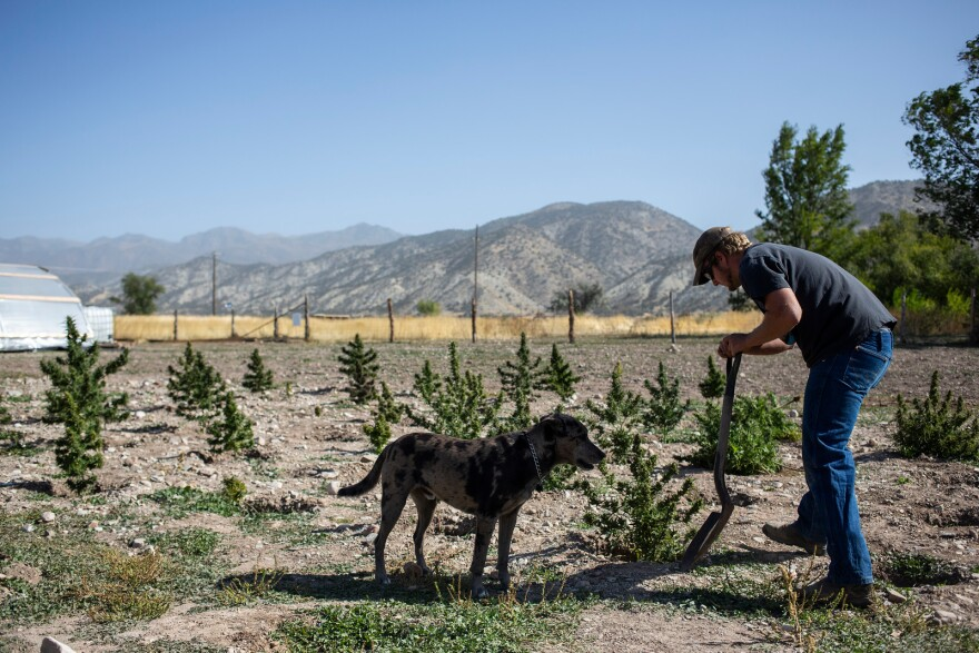 Photo of a man and dog in a hemp field with mountains.