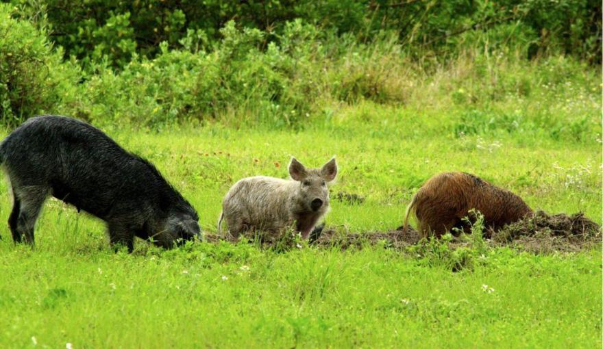 Feral swine in Missouri cause damage to wildlife, plants, animals, natural habitat and farmland. 12-09-19