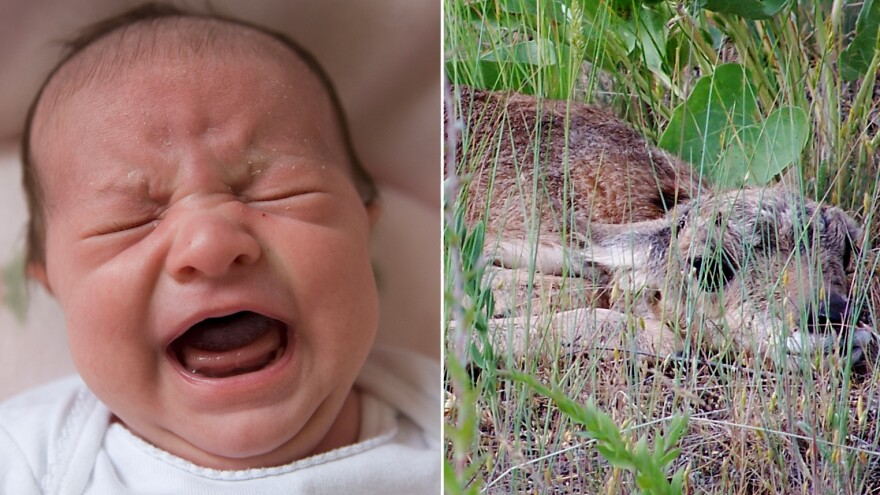 Human infants can be noisy, but pronghorn fawns are typically very, very quiet.