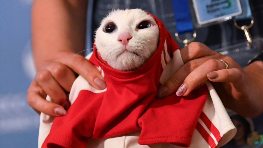 A participant dresses Achilles the cat in Russian colors on Wednesday after predicting a win for Russia against Saudi Arabia in Thursday's opening match.