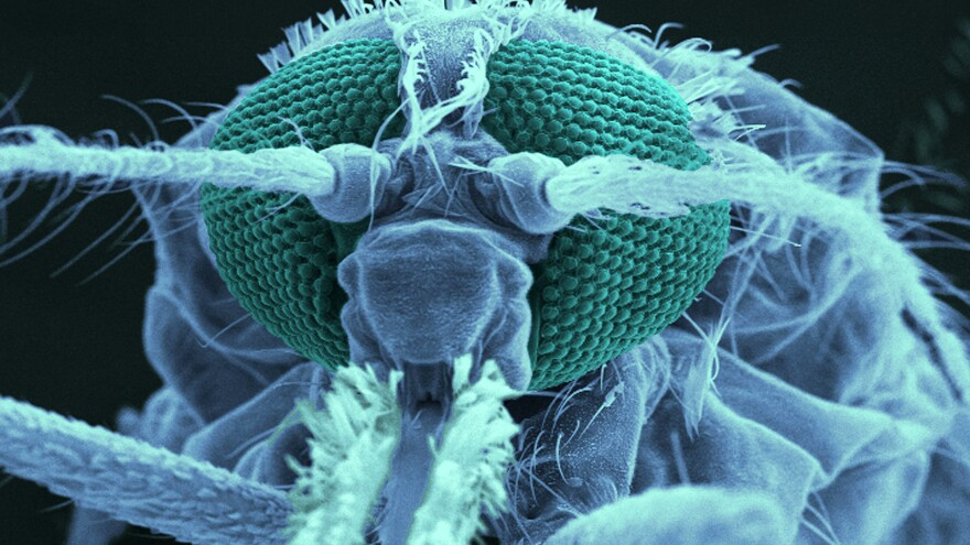 A mosquito's antenna responds to odors. Scientists are trying to figure out how the malaria parasite might trigger a change in body odor that draws in mosquitoes that carry the disease, like the Anopheles skeeter pictured above.