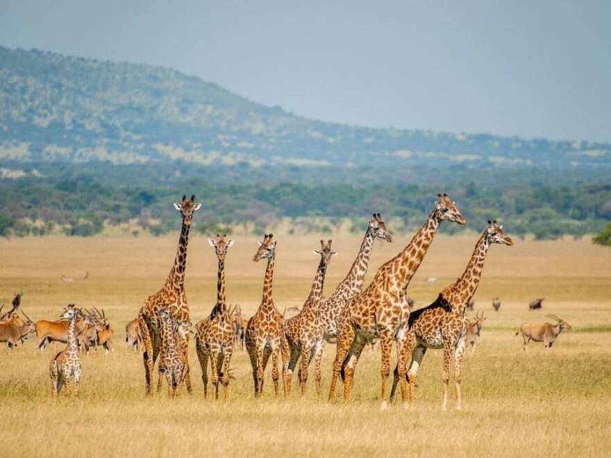 A herd of giraffes in Tanzania in 2012. An average of one giraffe trophy per day is imported to the United States.