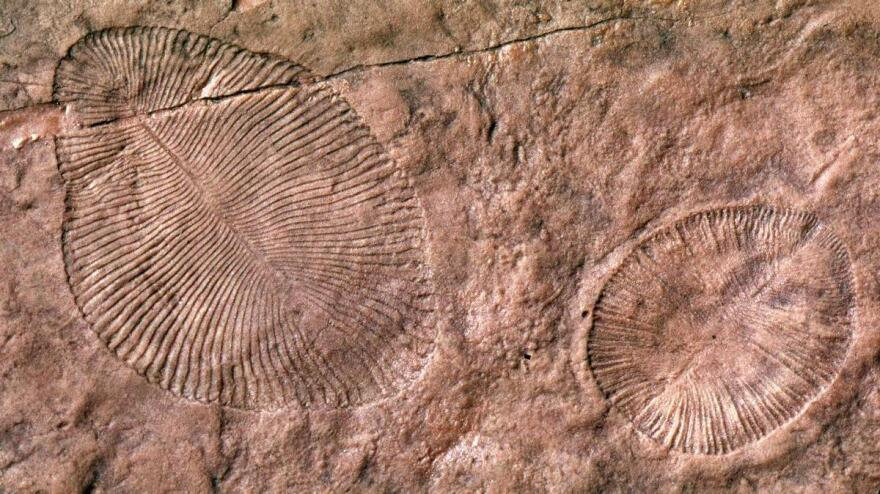 The fossil remains of <em>Dickinsonia,</em> an Ediacaran organism that's long been extinct. Scientists have long assumed these early life forms lived in the sea, but a new study argues they emerged on land.