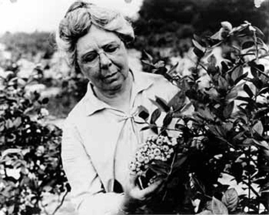 Elizabeth Coleman White inspects a blueberry bush in Whitesbog, N.J., date unknown. White began working with blueberries in 1911.