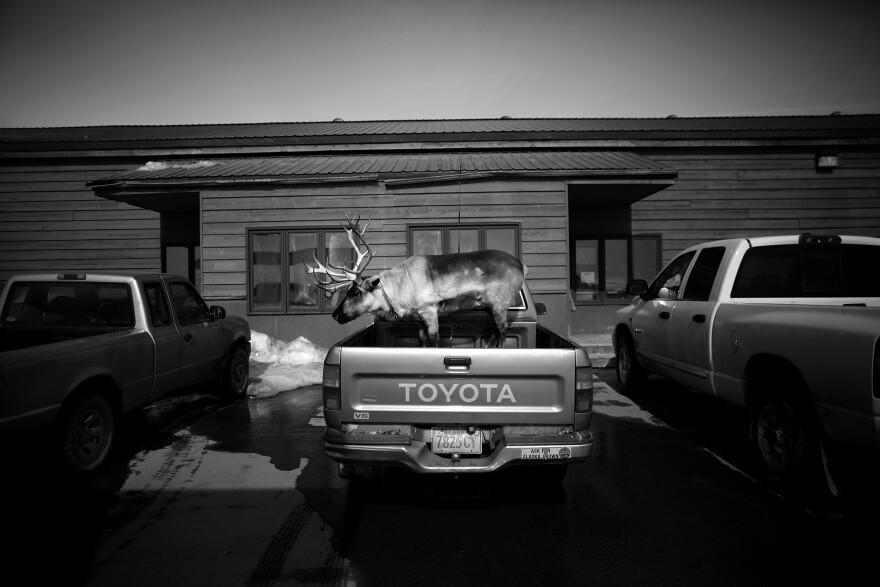 "Velvet Eyes — a pet reindeer belonging to Carl Emmons — stands in the back of a pickup truck outside a market and gas station in Nome, Alaska. From the story ""<a href=""https://www.npr.org/sections/pictureshow/2013/05/28/186447722/dashing-through-the-snow-with-a-reindeer-in-a-pickup-truck"" target=""_blank"">Dashing Through The Snow ... With A Reindeer In A Pickup Truck</a>,"" 2013."