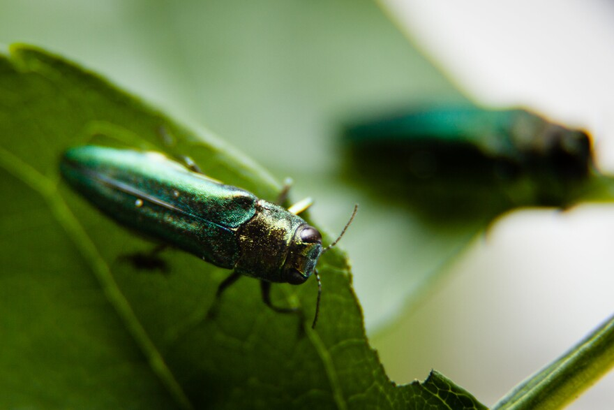 Little green beetle munches on leaves