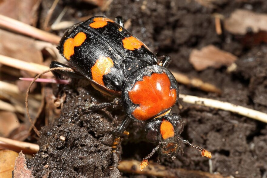 2_American_burying_beetle_photo_by_Dan_Kirk_Saint_Louis_Zoo_.jpg