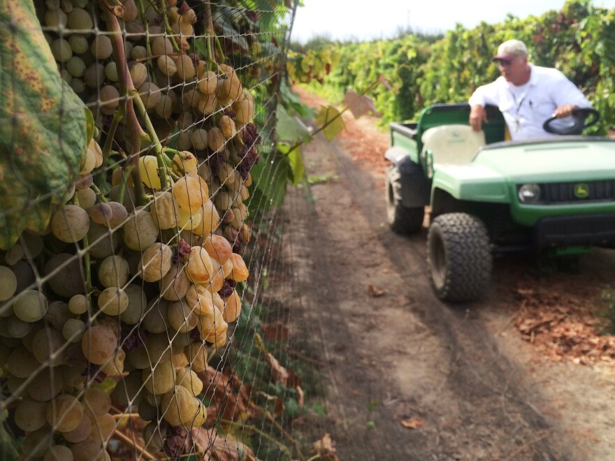 Sunpreme raisins dry on the vine and don't require farmworkers to clip the bunches of grapes before they dry.