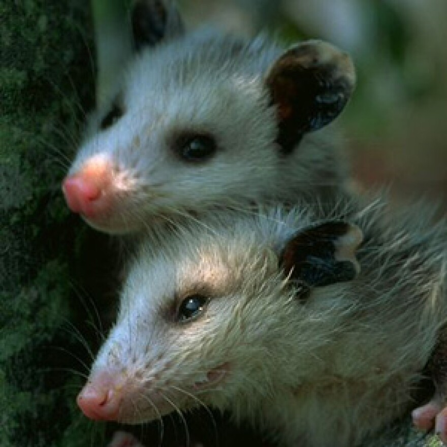 Two opossums