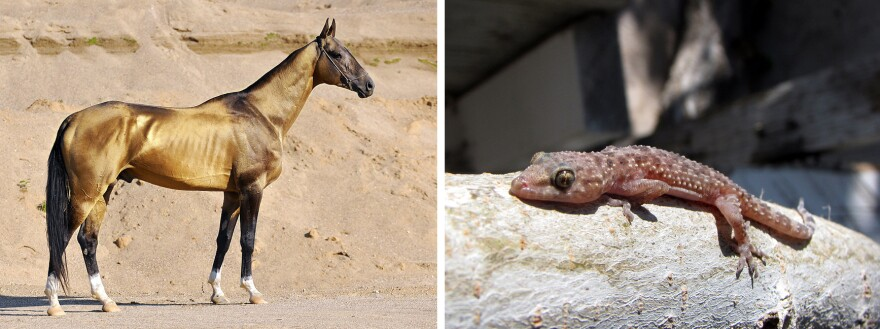 An Akhal-Teke horse, from Turkmenistan, has horizontal slits for pupils, while the Mediterranean house gecko has vertical slits that look like a series of pinholes.