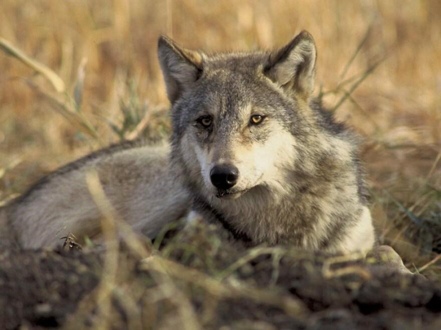 gray_wolf_-_john_and_karen_hollingsworth_usfws.jpg