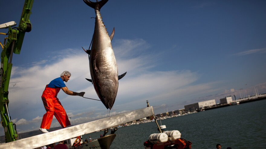 An Almadraba tuna is lifted by a crane in the port of Barbate, Cadiz province, southern Spain. Almadraba tuna is caught by an elaborate and ancient Andalusian fishing method used in Spanish coastal areas close to the Strait of Gibraltar since Phoenician times.
