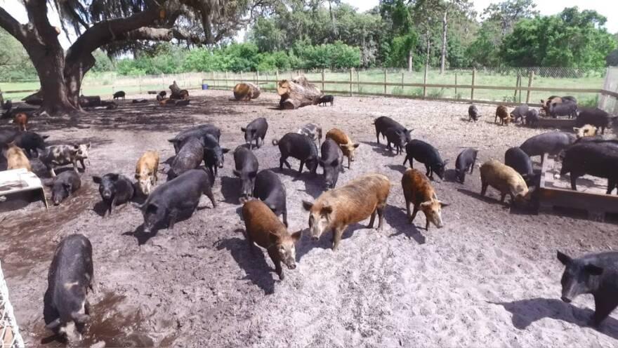 Wild Boars At Shogun Farms