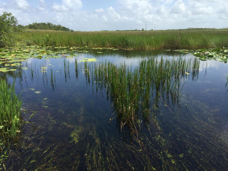 Seagrass in the Everglades.