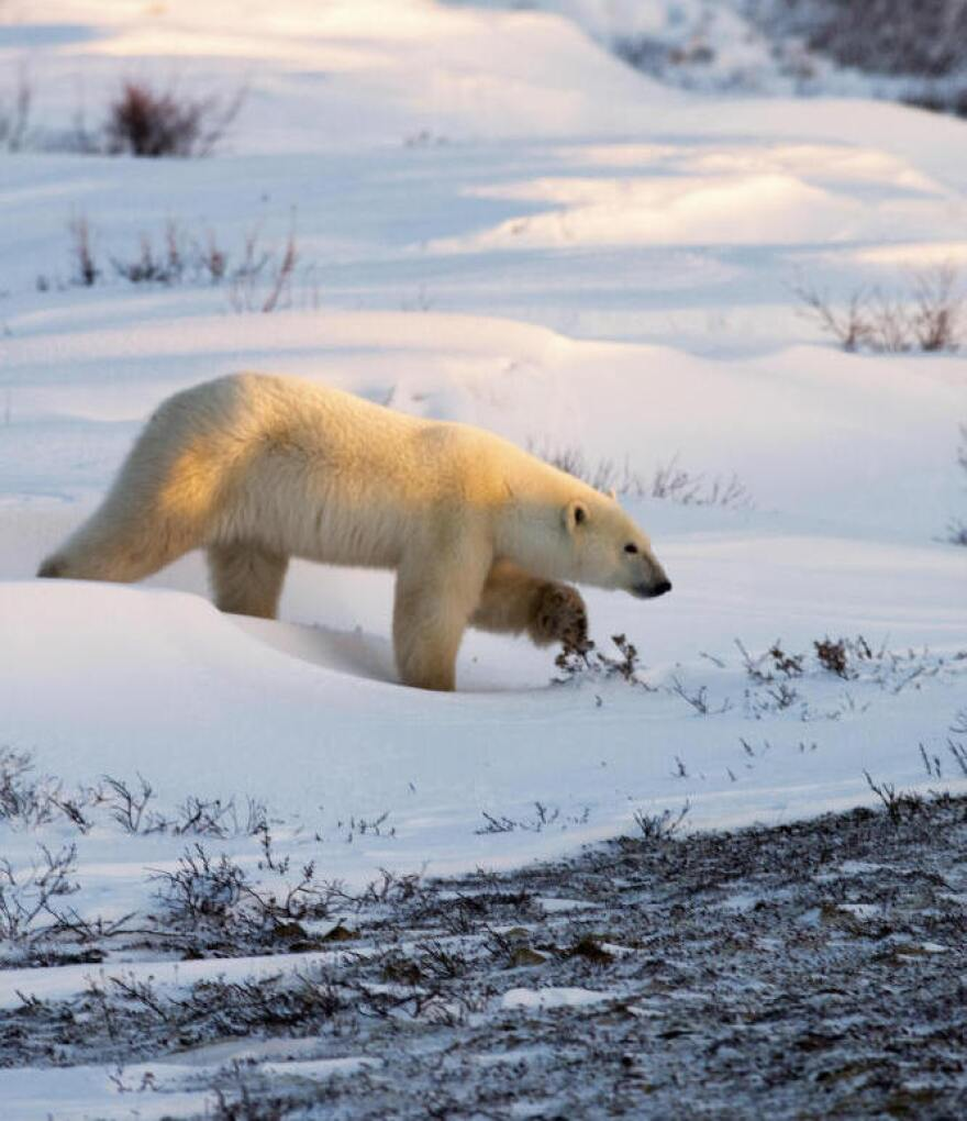 <p>A researcher who wrote a famous report about dead polar bears is being re-interviewed by federal investigators, who are continuing to probe allegations of misconduct. Above, a polar bear walks on the frozen tundra on the edge of Hudson Bay.</p>
