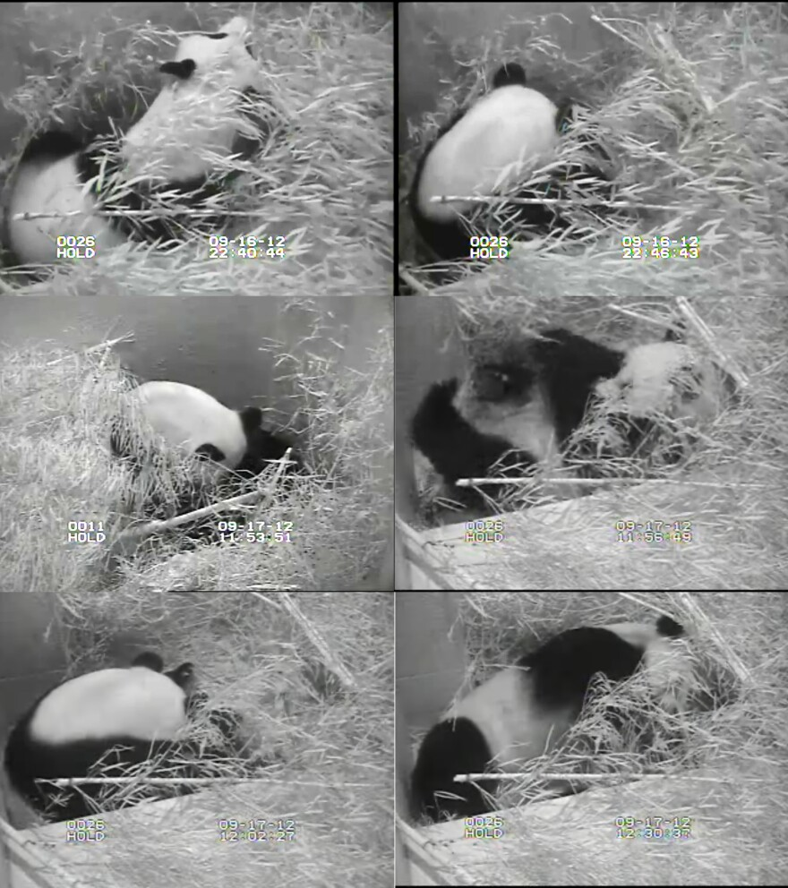 A composite of images from the panda cam, showing Mei Xiang during and after giving birth.
