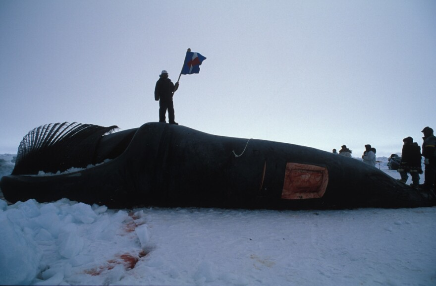 A member of a whaling crew waves a flag at the start of the butchering of a just-captured bowhead whale in the outskirts of Barrow, Alaska, in 1998.