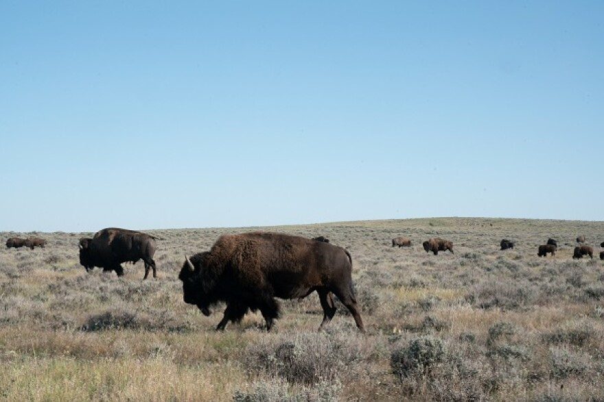 Bison road on prairie with clear blue sky.