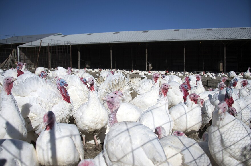"""Free-range"" turkeys at Maple Lawn Farms in Fulton, Md., in November 2014.  In some cases, turkeys labeled ""free-range"" roam freely on a farm. But in the vast majority spend most of their time in crowded houses, consumer advocates say."