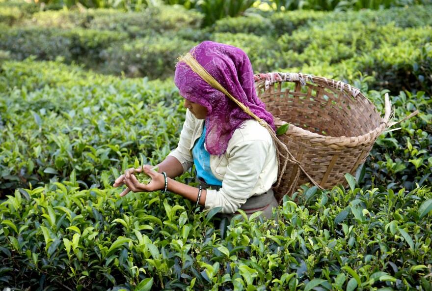 A tea plucker at the Glenburn tea estate in the Himalayas.