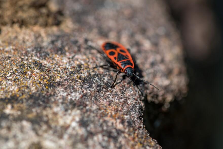 Photo of a firebug
