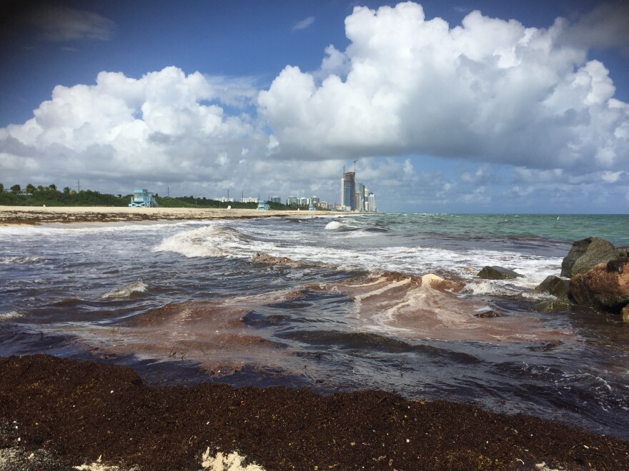 Red Tide washes up on the shores of Haulover Inlet