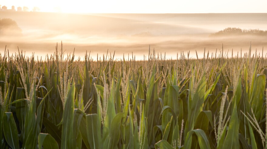 A cornfield is shrouded in mist at sunrise in rural Springfield, Neb.