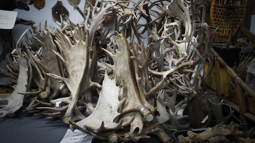 Moose and caribou antlers sit in a corner of the Alaska Fur Exchange in Anchorage. These large, high-quality antlers are unlikely to be cut down into pet chews and are mostly purchased by collectors.