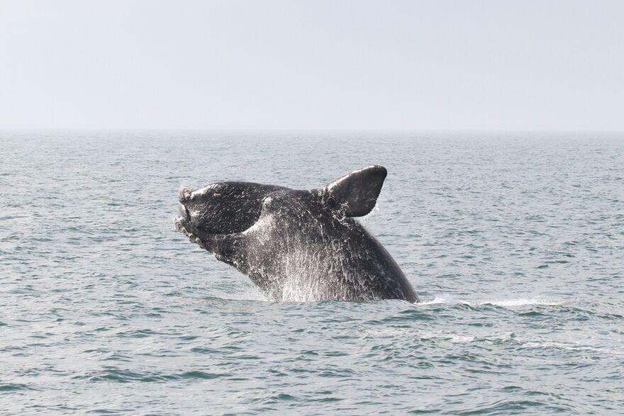rightwhale_breaching_permit15488.jpg