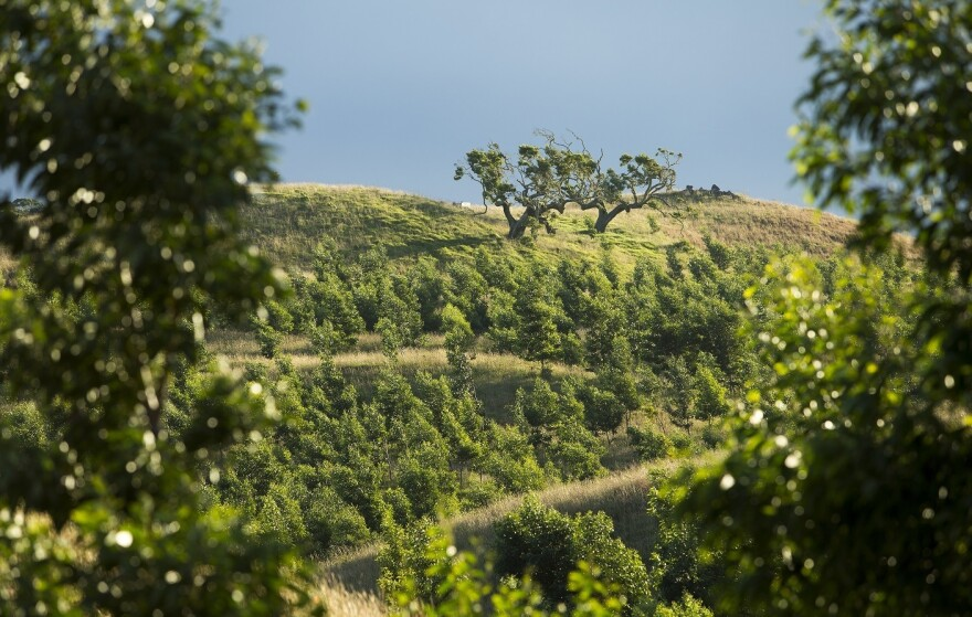 The young koa trees planted by Hawaiian Legacy Hardwoods in the foreground are about a year old, with old-growth koa trees on the hill in the background.