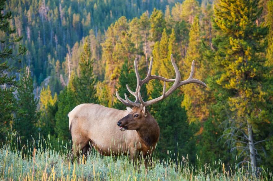 Photo of elk.