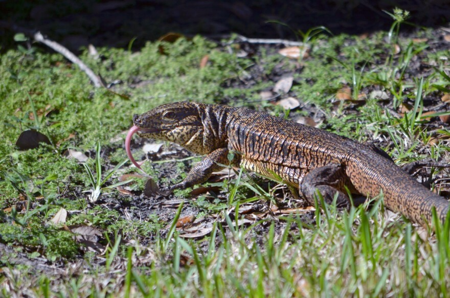 Gold tegu lizard in the grass with its long tongue slithering out.