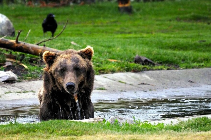 After Yellowstone grizzlies were removed from the threatened species list in 2017, the states of Idaho and Wyoming decided to allow hunting the species.
