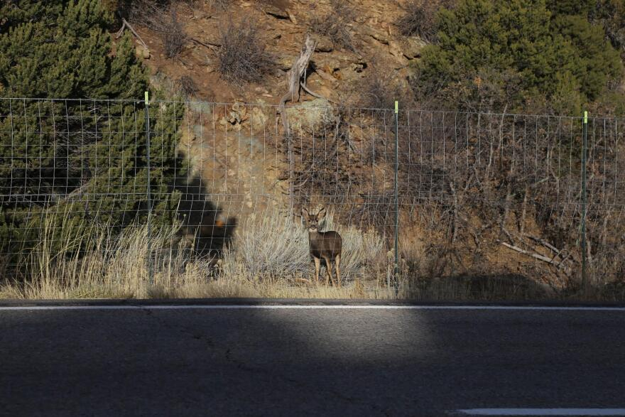 A deer looks at the road while stuck.