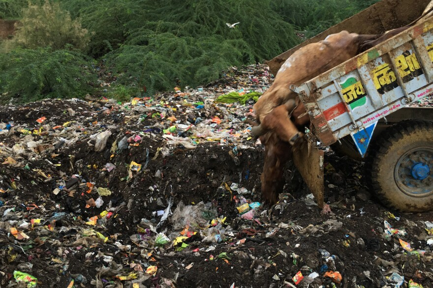 With some traditional cow skinners refusing to work as a protest their status in the cast system, cow carcasses are now being tossed into garbage dumps in Limbdi, a town in the state of Gujarat.