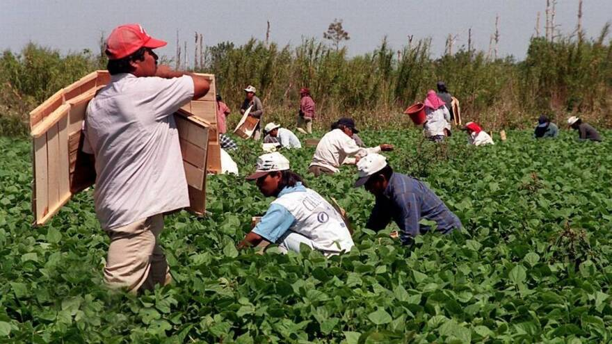 Promoted to essential: Latin American migrant workers pick green beans near Homestead.
